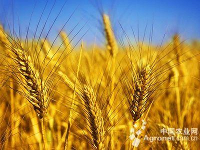 秋冬玉米风景图片