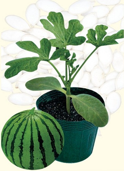 供应佐藤—砧木种子