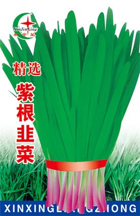 紫根韭菜—韭菜种子