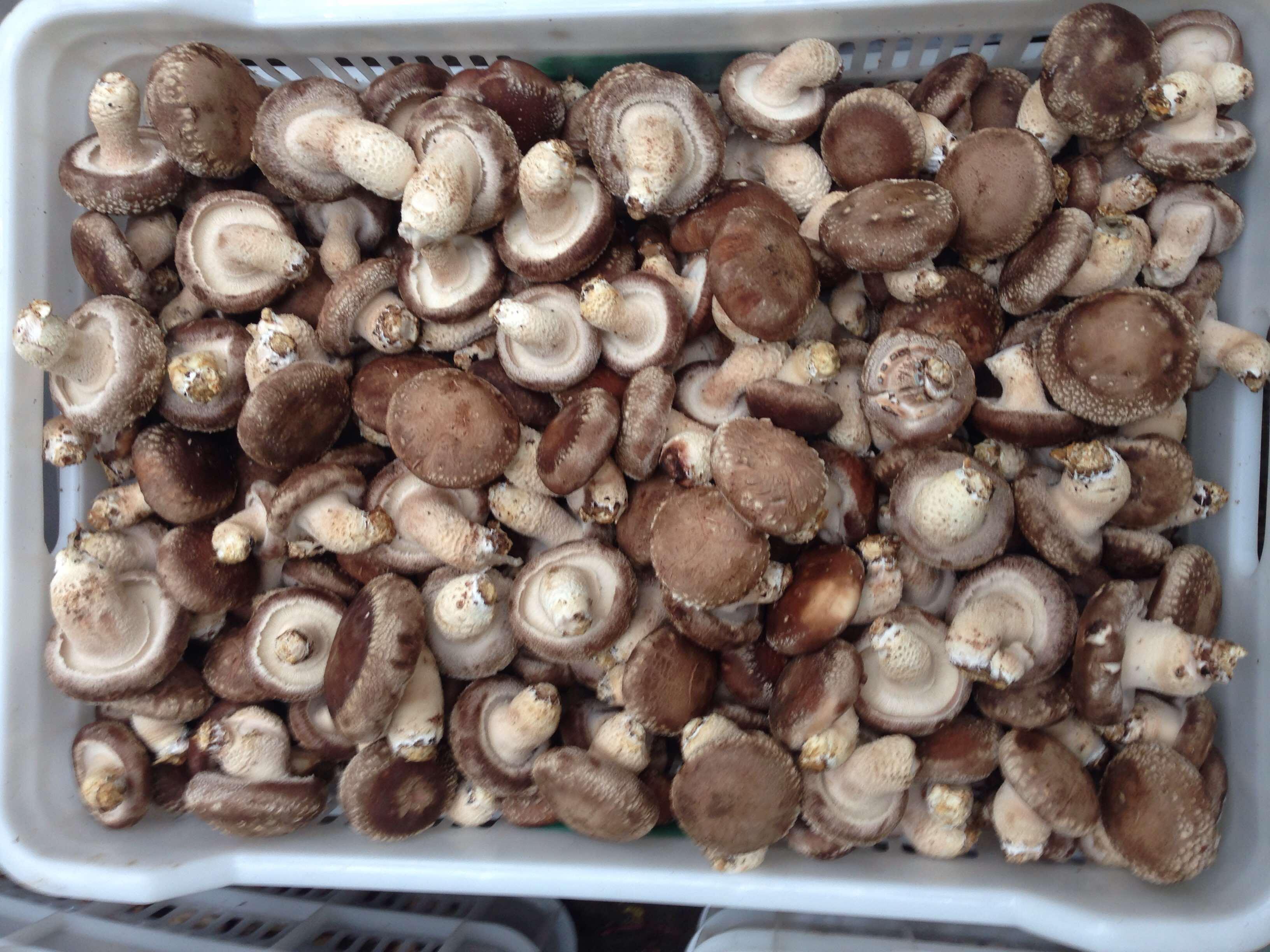 香菇造型垃圾桶