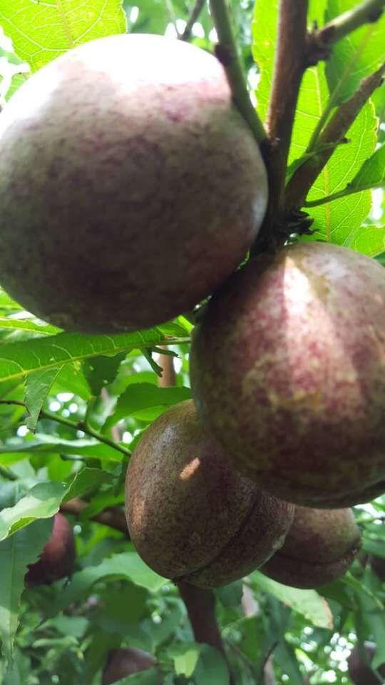 黑桃果树                           产 地:山东