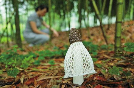 竹荪种植技术_了\