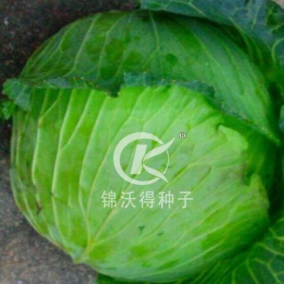 錦沃寒秀—越冬甘藍種子
