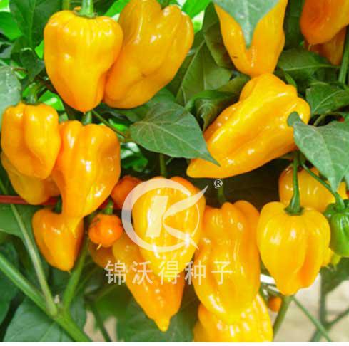 錦沃黃燈籠——辣椒種子