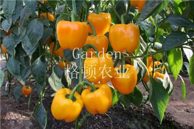 黃方頓甜椒種子