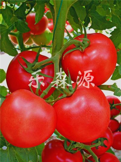 紅珍珠-番茄種子