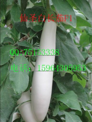 白长茄种子