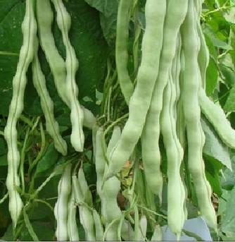 盛松牌九粒白芸豆种子