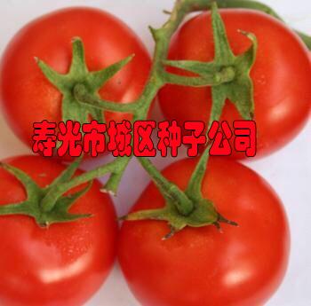 190大紅番茄種子