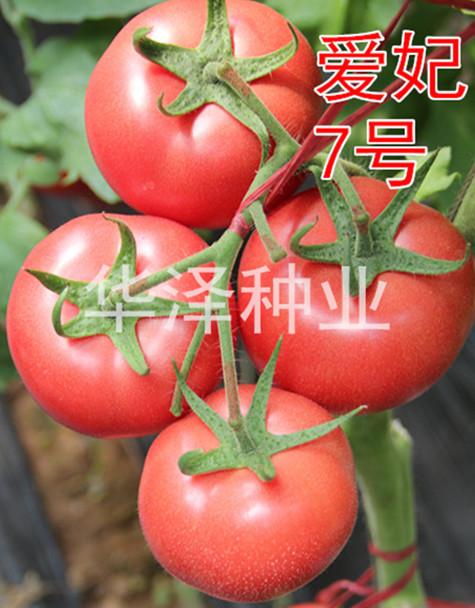 荷蘭進口精品粉果番茄種子—愛妃7號