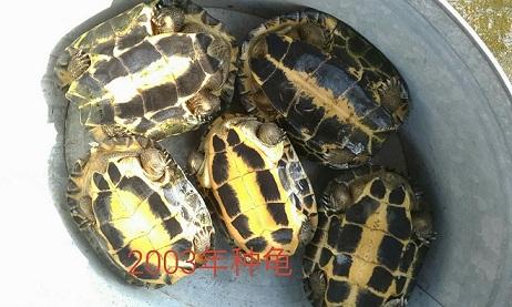 供应龟鳖,鳖,阳春诚源龟鳖繁殖场乌龟养殖基地,中国网