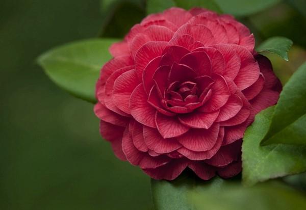 茶花玫瑰花纹图
