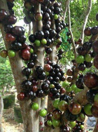 供应木葡萄苗 树葡萄苗 树木葡萄