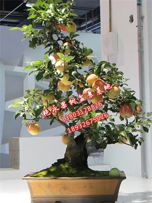 供应果树盆栽,盆栽盆景,保定艳永果树盆景种植有限,网