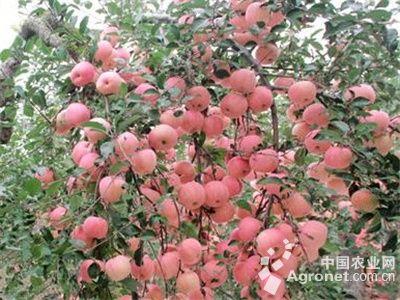 山东青岛老果树一枝结出211个苹果(图),农业资讯,中国