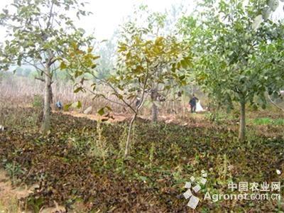 推广核桃树下套种柴胡,丹参等中草药,有效地利用了核桃林下空间,实现