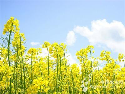 清明小长假将至,青岛西海岸的油菜花也到了花开时节.