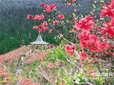 穿梭在磐安,一不小心就会邂逅花海,或是粉白相间的樱花大道,或是红得