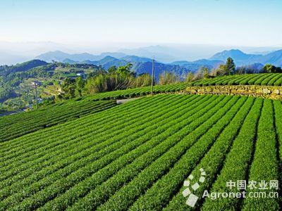 宜昌市标准高产茶园达到30万亩(图)