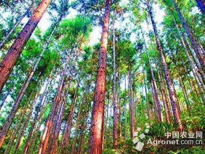 融安县的轻基质香杉苗木基地规模达200亩