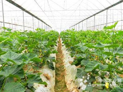 菜花种植技术