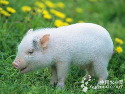 一头头生产不久的母猪懒洋洋地躺在地上,小猪们围在身边,撒欢,嘶闹.