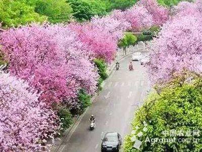 柳州邀请大家来柳观 紫荆花海