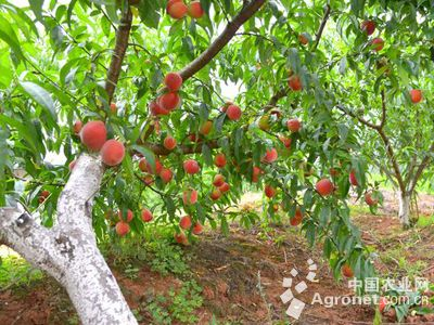 为315户贫困户补习桃树病虫害防治技术和中药材生产