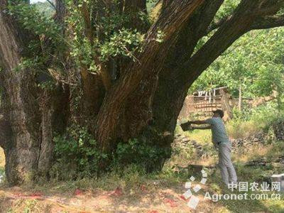 据悉,这株千年古银杏位于南漳县李庙镇茅坪村三组孟家湾,树高21