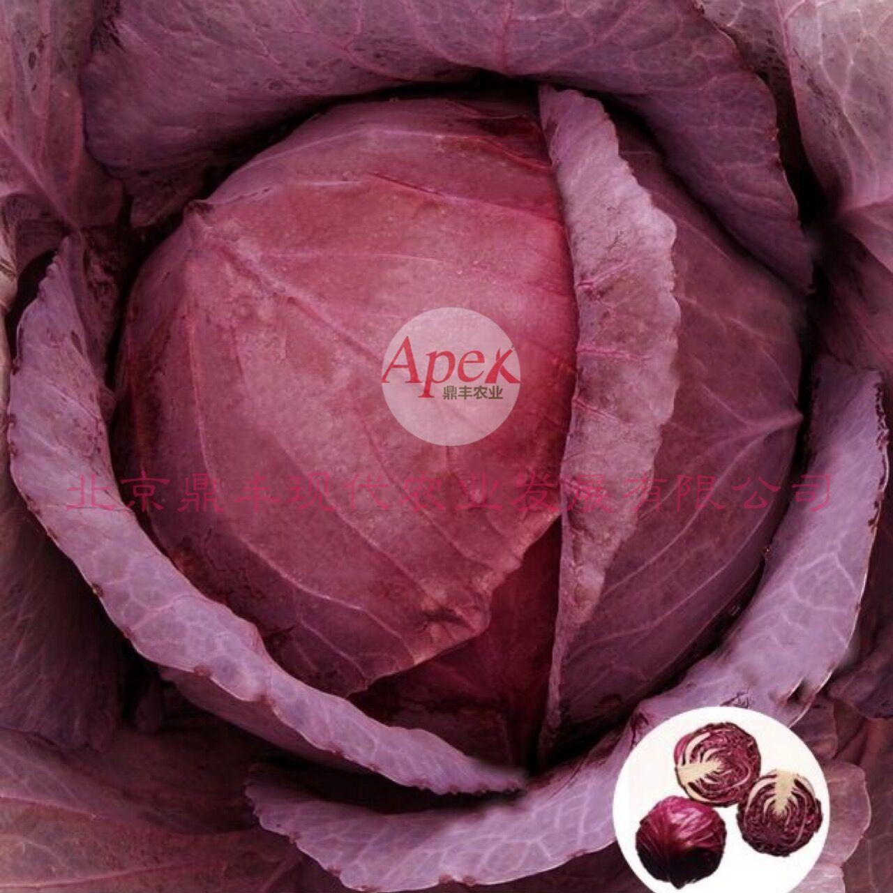 紅王朝 ——紫甘藍千亿国际登录