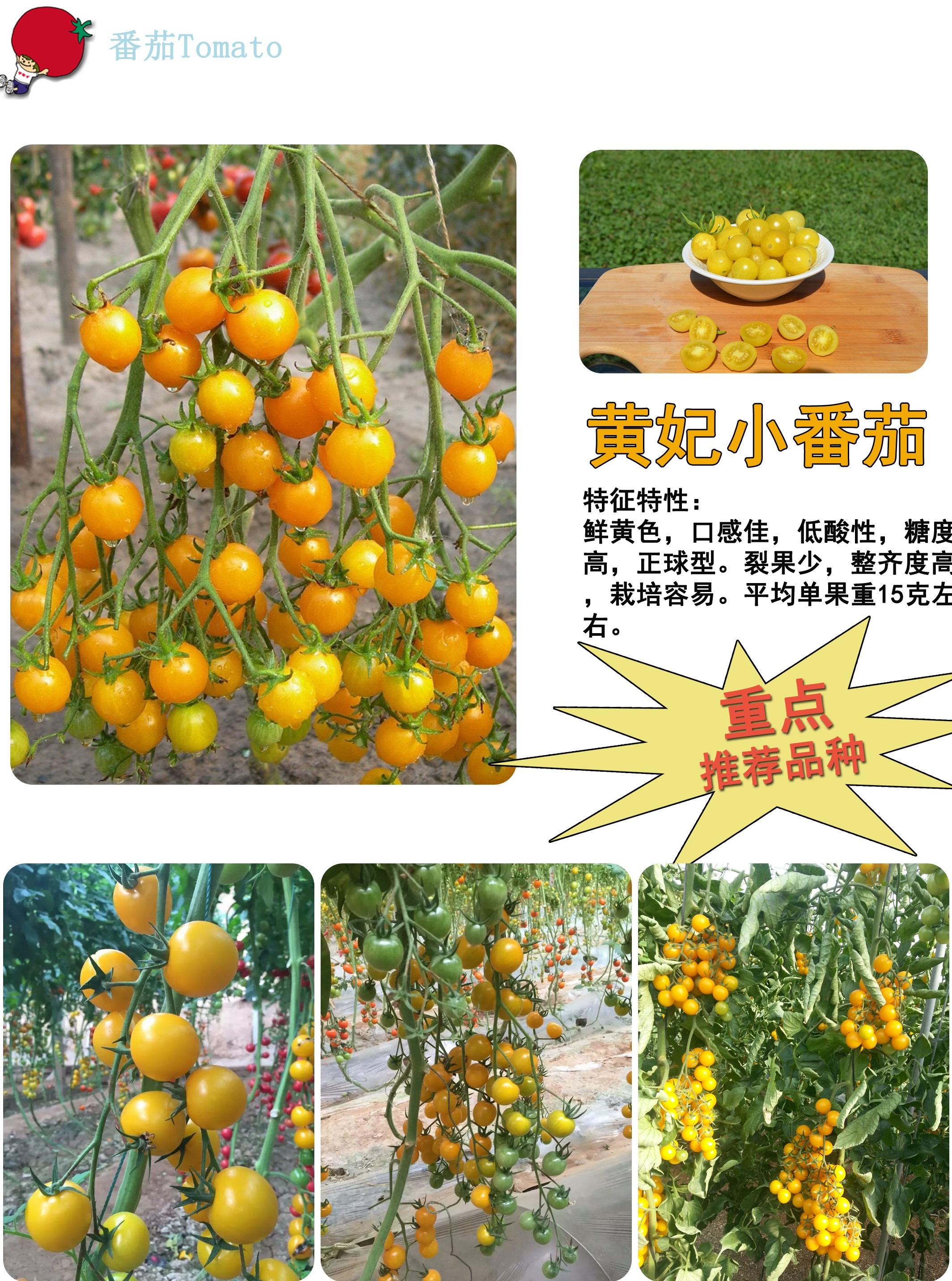 日本原装进口黄妃樱桃番茄种子