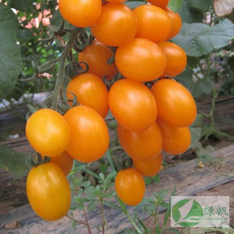 小番茄種子