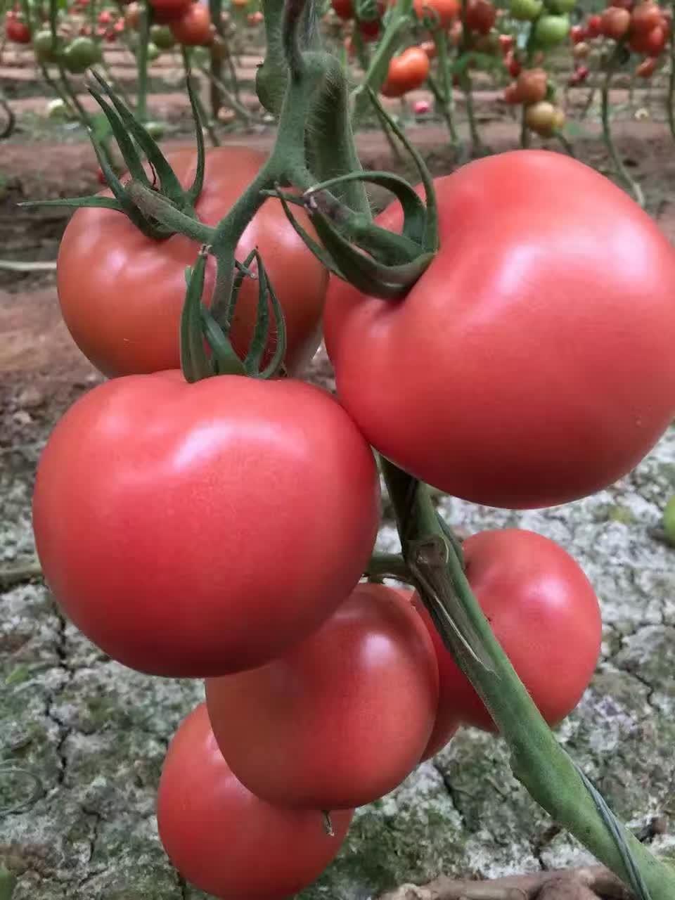 早春大粉果西紅柿苗