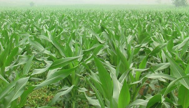 国内玉米行情整体稳定,价格走势日趋明朗