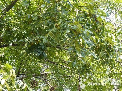 浙江萧山有颗老美国山核桃树(图)