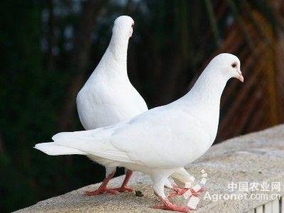 鸽子得了口疮病如何治图片