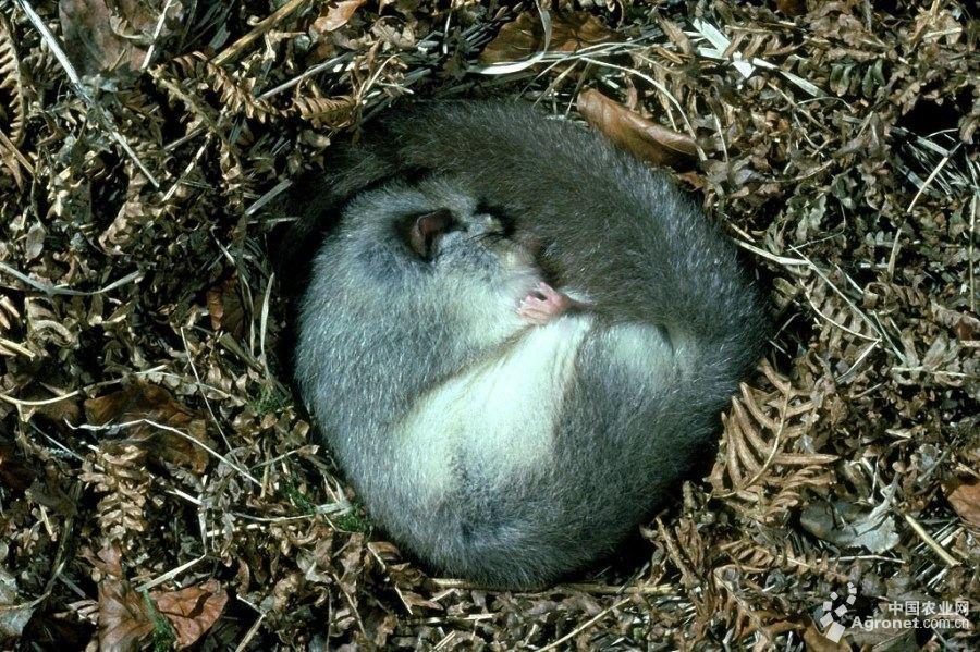 体型皆小,外形颇似鼠科动物,而多数种类的尾却很像松鼠科的林栖种类