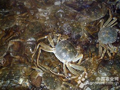 无锡地产螃蟹批量上市(图)