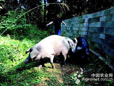 可爱黑猪的图片
