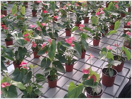 青州黄楼温室花卉移动苗床