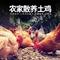 供应广州土鸡