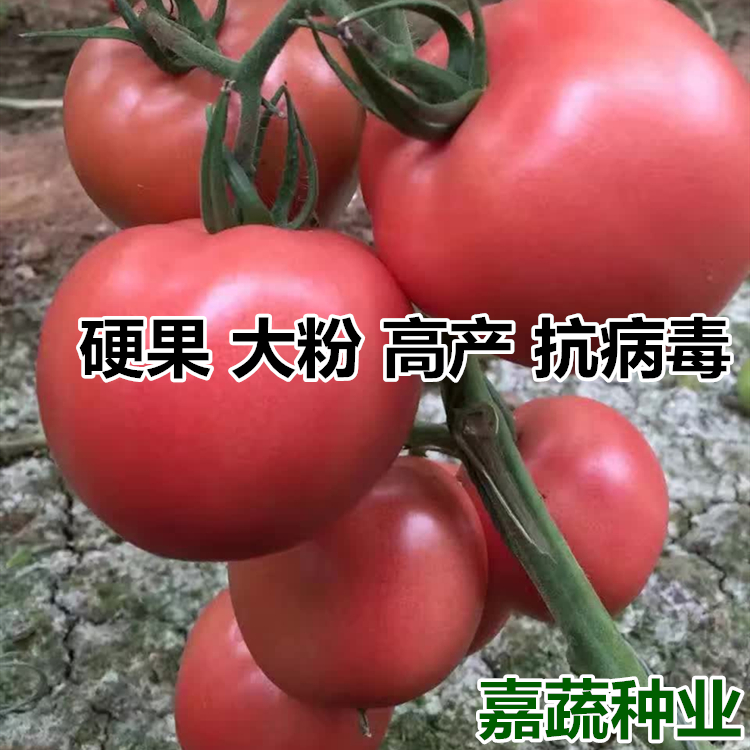 越夏大果番茄苗