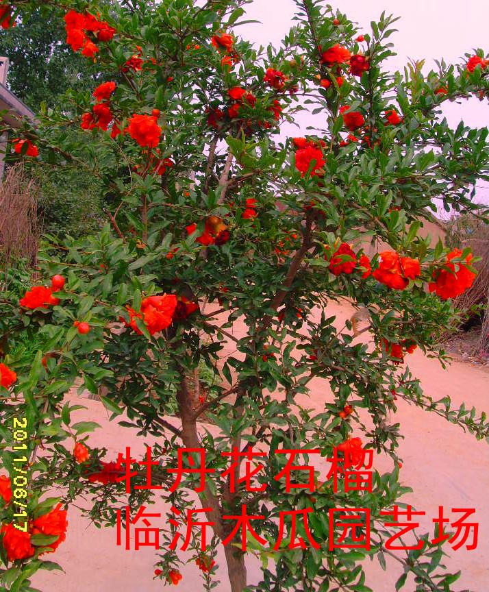 大叶海棠花繁殖方法