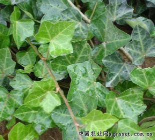 背景 壁纸 绿色 绿叶 树叶 植物 桌面 310_281