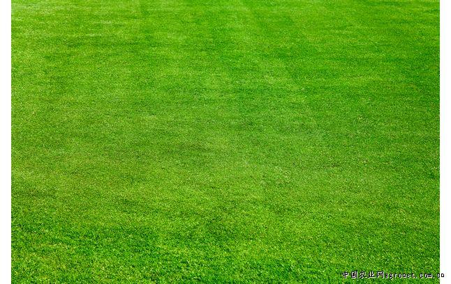 本种植园生产的优质草坪 ,长年供应优质草坪,主要是早熟禾系列,品种都经精选.可达到十个月以上的常绿标准.是城市绿化,小区绿化,学校绿化,高尔夫球场,公路绿化,山体护坡绿化的首先。机器打卷。 以诚信待人,薄利多销的原则,常年销售各种绿化草坪,如蓝宝石草坪,蓝鸟草坪,马尼拉草坪,高羊茅草坪,矮生百慕达草坪,四季青草坪,老虎皮草坪,中华结蒌草坪,, 我们是直接的生产者,所以我们的产品是优惠的; 我们是专业的生产者,所以我们的产品是优质的;您是在茫茫商海之中找到我们,所以您是优秀的!愿与您携手共建美好家园! 联系