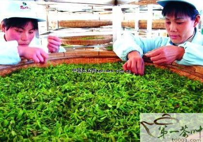 山东泰山:女儿茶香入云端(图),农业资讯,中国 ...