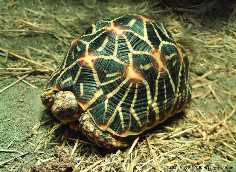 印度星龟/拉丁学名:Geochelone elegans...