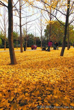 北京:深秋落叶成风景 公园清扫暂推迟(图)