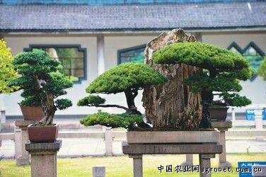 这次参展的盆景珍品多为树桩盆景,包括柏,松,榆,杨,梅,枫,柳数十种