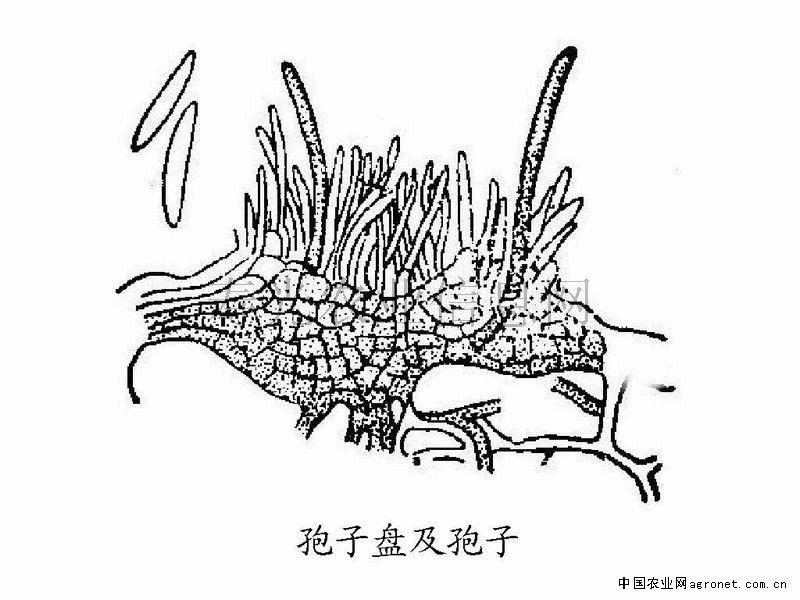 豇豆炭疽病